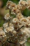 New White SWEET EVERLASTING Gnaphalium Obtusifolium Butterfly Flower Herb 100+ Seeds