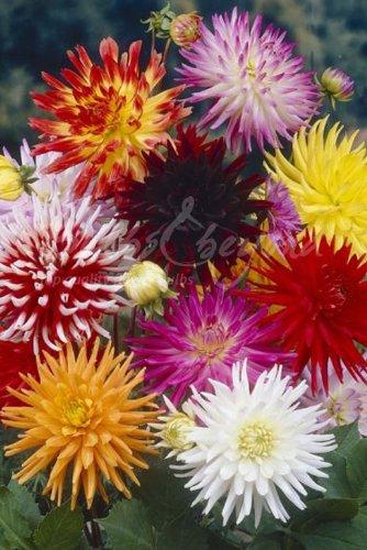 20 bulbi SPEDIZIONE GRATUITA Collezione Mix di Colori Bulbo di Dahlia a fiore di cactus - Bulbi da fiore // fiori da giardino