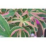 Amazoncom Anne Irene Japanese Maple 2 Year Live Plant Maple