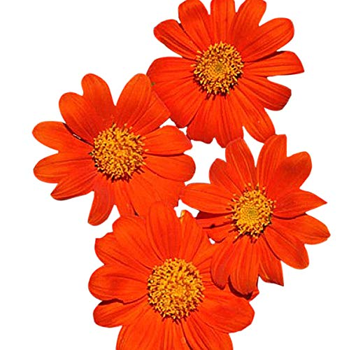 Torch Mexican Sunflower - Mexican Sunflower Seeds - Attracts Butterflies and Hummingbirds - Torch