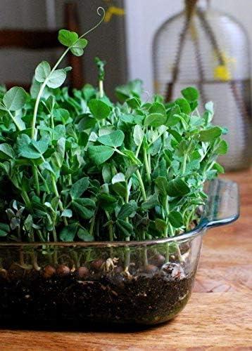 Amazon.com: 25 semillas Dou Miao semillas – para la nieve ...