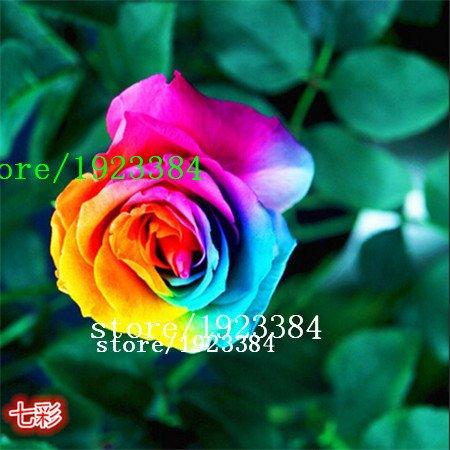 100 Abracadabra Rose seeds,rare color ,Osiria Rose gorgeous flower seeds. the lover rose seed . (Abracadabra Rose)