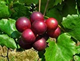 "Noble Red Muscadine Grape Plant - Self Fertile Variety - 4"" Pot - Wine/Juice"