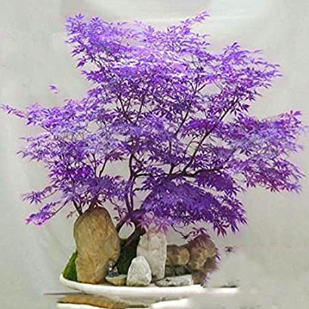 Amazon Com 20pcs Purple Japanese Maple Tree Bonsai Seeds Acer