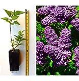 Lilac Bush Purple Old Fashion Lilac Trees Ready to