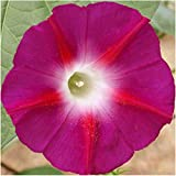 Package of 100 Seeds, Scarlet O' Hara Morning Glory (Ipomoea nil) Seeds By Seed Needs