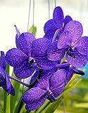 Vivai Le Georgiche Orchidea Ascda Princess Mikasa Blue (Vanda Blu)