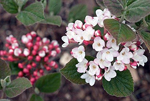 "UPC 763846222936, Korean Spice Viburnum Shrub -Most Beautiful/Fragrant Shrub in the World- 4"" Pot"
