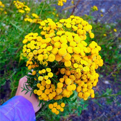Amazon promotion 100 pcs tansy seed 2 kinds colors flower 100 pcs tansy seed 2 kinds colors flower seeds bonsai perennial blooming plants yellow mightylinksfo
