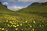 Iceland - Flowers in a field 30x40 photo reprint