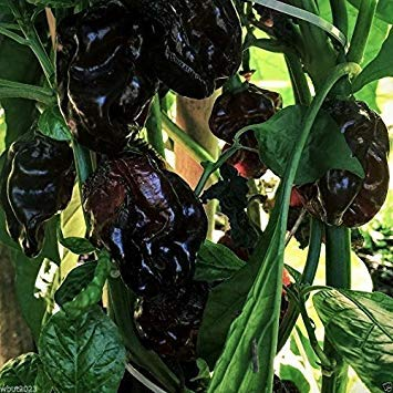 Glamouras 10 Black Cayman Pepper Seeds (Capsicum chinense) Organic Non-GMO Hot Peppers