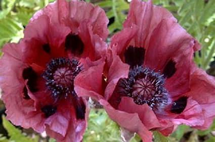 Amazon 35 Papaver Orientale Plum Pudding Poppy Perennial