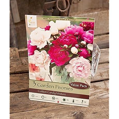 Cotton Candy Mixture Garden Peony Paeonia Lactiflora 3 Bulbs
