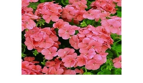 15 Geranium Film Coated MultiBloom Red Multi Bloom Geranium Seeds