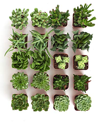 Shop Succulents Green Succulent (Collection of 20) by Shop Succulents (Image #4)
