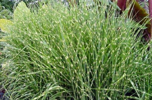 Miscanthus sinensis Zebrinus Zebra Maiden Grass Seeds! MLG -551