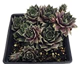 Silverine Moon Hens & Chicks - Sempervivum - Very Hardy - Quart Pot - Moon Charms