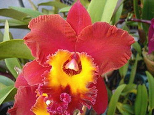 - Blc. (Oconee x Sunset Sail) 'Paradise Bird' Fragrant! Cattleya Orchid Plant