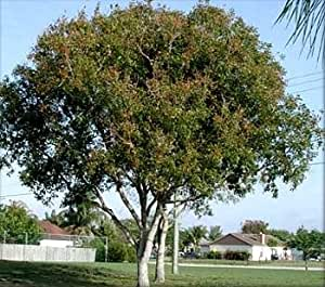 Amazon Com Mahogany Tree 10 Seeds Swietenia Tropical