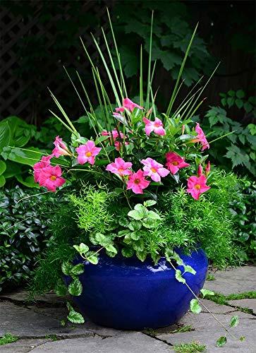 AMERICAN PLANT EXCHANGE Dipladenia Mandevilla Live Plant, 6'' 1 Gallon, Pink by AMERICAN PLANT EXCHANGE (Image #2)