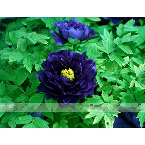by DUBU 5 Seeds / Pack, Dark Blue Tree Peony Flower Seeds Rere Plants free shipping