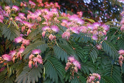 Grow Your Own Japanese Maple Trees(Mimosa)