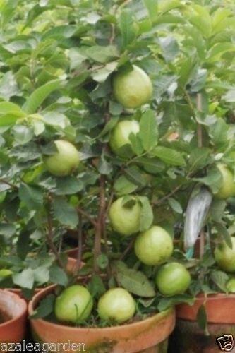 Indoor Dwarf Giant Thailand Guava Fruit Seeds - 40 seeds