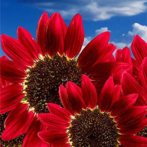Sowing Sunflower Seeds (Red Sunflower Seeds 15Pcs Beautiful Helianthus Annus Flower Seeds for Garden Courtyard)