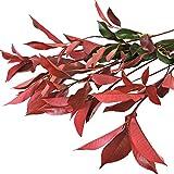 Farm Fresh Natural Photinias - 100 Stems