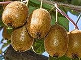 Actinidia deliciosa 'Vincent', Female Kiwi Vine. Live Plant to 1'-2' Tall