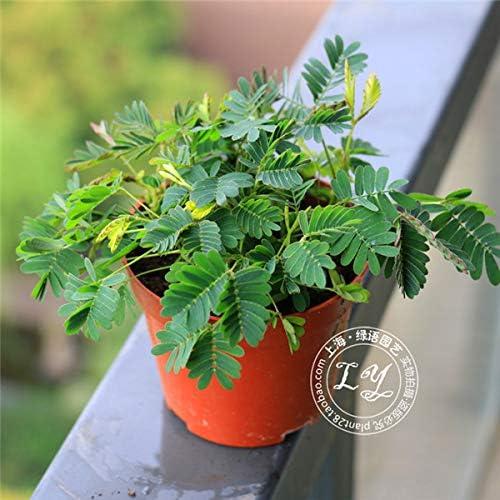 20 piezas de semillas de árboles de mimosa de flores raras, en maceta, balcón y amplificador; Jardín Flor Planta Jardín Casa Planta C026: Amazon.es: Hogar