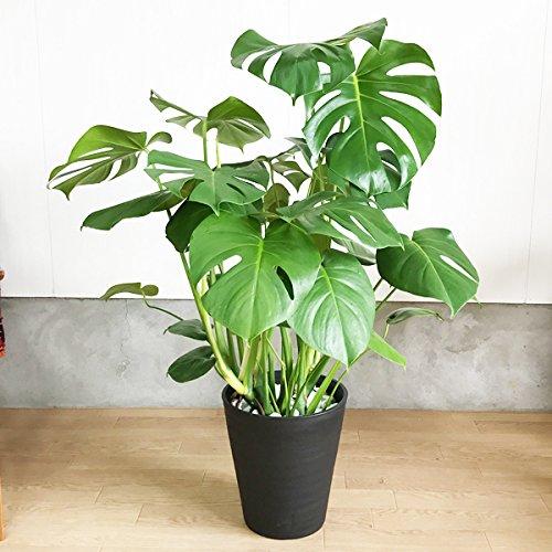 モンステラ 観葉植物 インテリア 大型 大 ブラックセラアート鉢 8号 B01HS2Q5J2