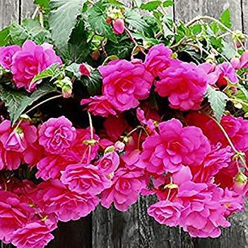 BloomGreen Co. Semillas Flor: Colgantes (13 Paquetes) Semillas de ...