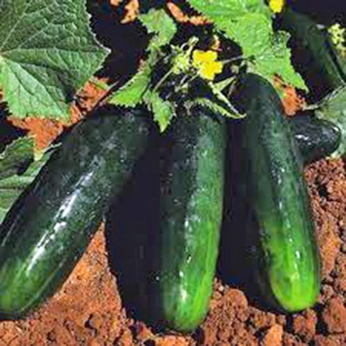 CUCUMBER, , STRAIGHT EIGHT, HEIRLOOM, ORGANIC 100 SEEDS, GREAT FOR SALADS/SNACK]()