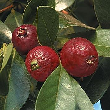 Mudas Frutíferas (Nativas e Exóticas) - Frutabella