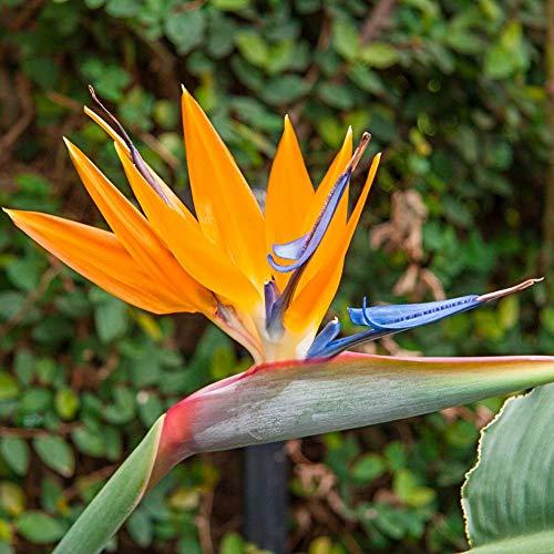 Bird of Paradise Strelitzia Reginae Live Plant