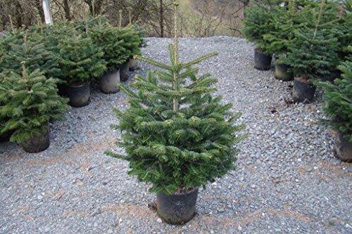 Nordmanntanne Im Topf Gewachsen Weihnachtsbaum Ideal Zum Einpflanzen