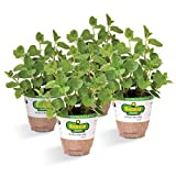 Bonnie Plants Spearmint (4 Pack) Live Plants Review