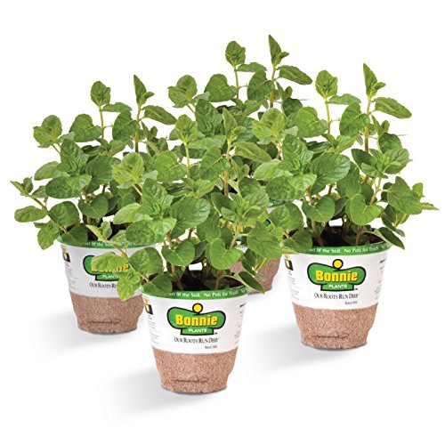 Spearmint Plants Are Herbs To Plant in The Fall