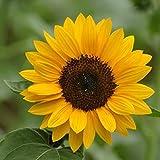 30 PCS Chile Salpiglossis Sinuate Seed Morning Glory Seeds