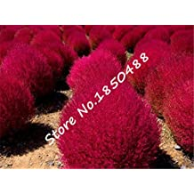 Grass seeds Perennial 1000pcs Grass Burning Bush Kochia Scoparia Seeds Red Garden Ornamental easy grow bonsai plant for garden