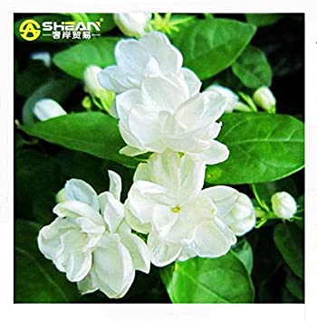 30 pcs bag white jasmine seeds jasmine flower seeds fragrant plant