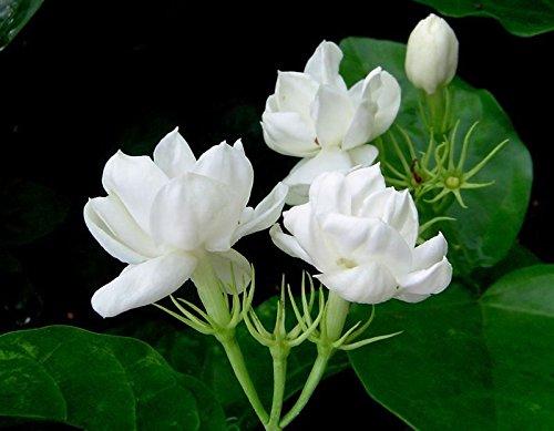 good indoor flowers -Jasmine