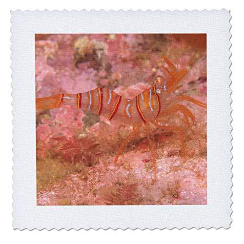 3dRose Danita Delimont - Wildlife - Clown Shrimp, Admiralty Island, Southeast Alaska, Inside Passage - 25x25 inch quilt square (qs_314518_10)