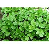 MaliaGarden Green Coriander - Dhania Hybrid Vegetable Seeds - For Kitchen Gardening - Pack of - 100 seeds