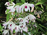 Dendrobium Nobile Alba from the Orchid family with 28000 species .