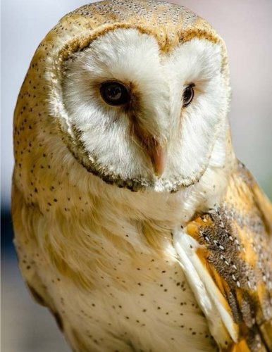 Barn Owl Notebook Large Size 8.5 x 11 Ruled 150 Pages