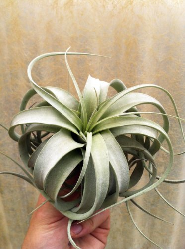 Airplant Tillandsia Xerographica Small