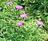 CORNFLOWER PERSIAN PERENNIAL Centaurea Dealbata - 100 Bulk Seeds