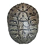 Pond Turtle Shell (7 - 8 inches) (Natural Bone Quality A) Red Eared Slider Real Turtle Shell - Genuine - Authentic